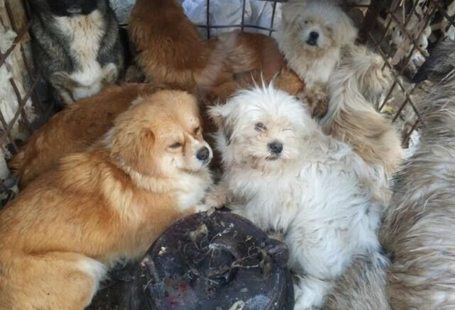 Dogs rescued from illegal slaughterhouse in China - Dogs ... - photo#29