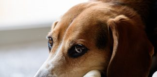 beagles are often used in animal testing