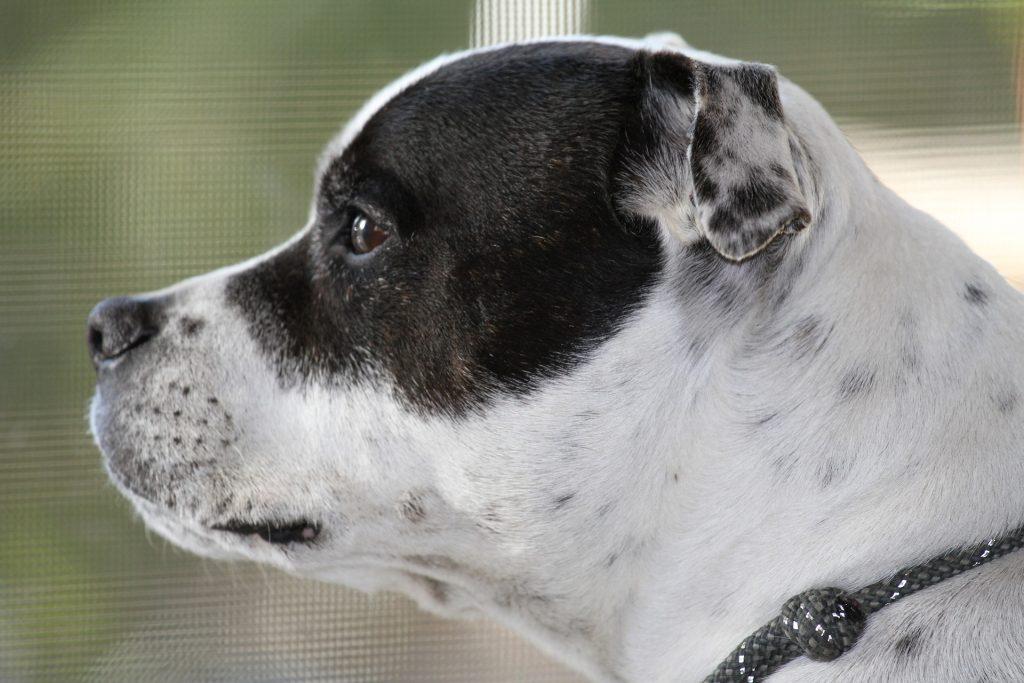 dog theft target