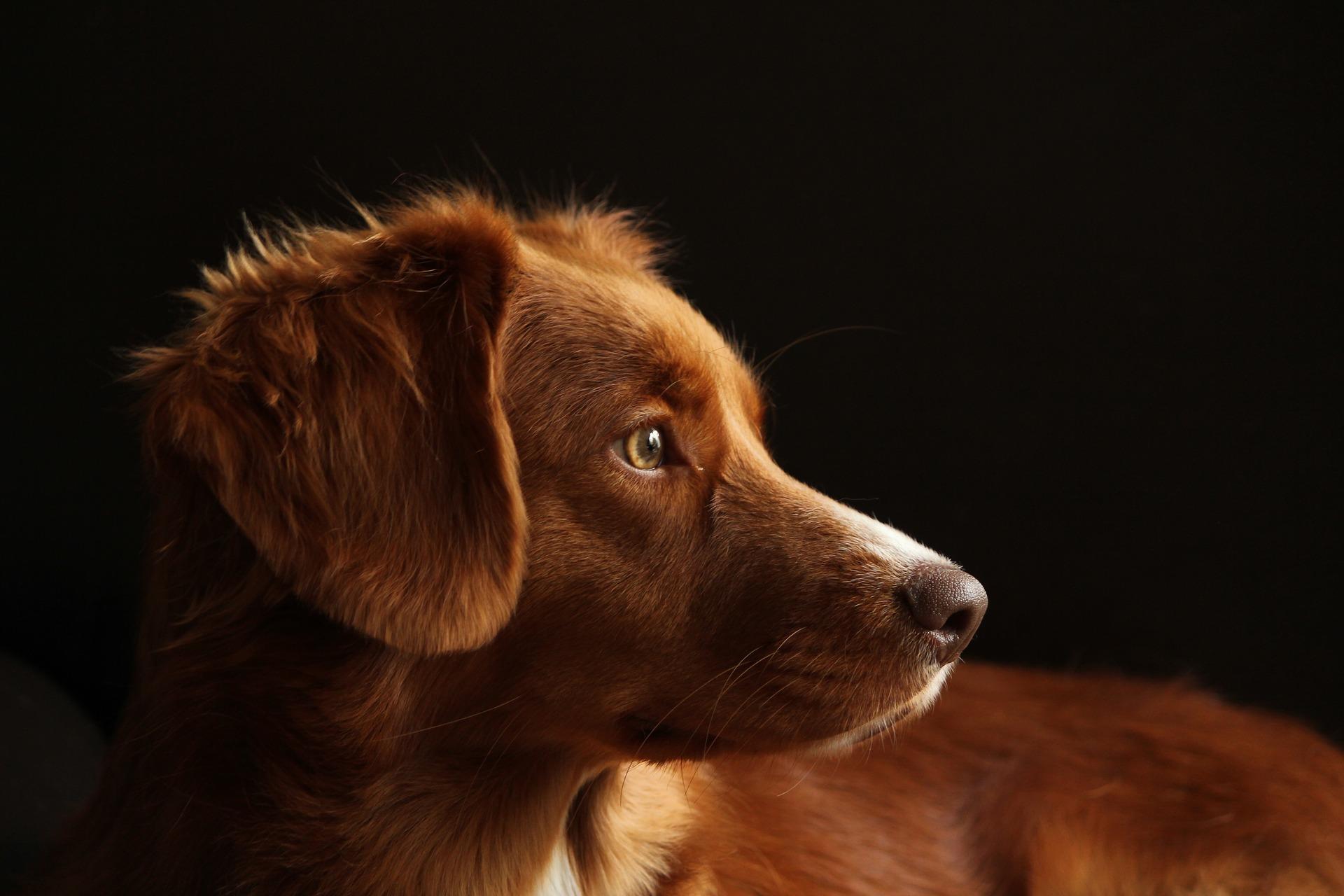 Dog Crush Nova Scotia Duck Tolling Retriever Dogs Today Magazine