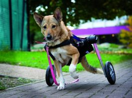 disabled dog ella