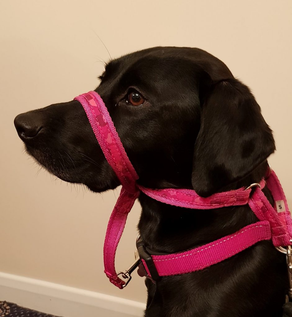 dog wearing headcollar