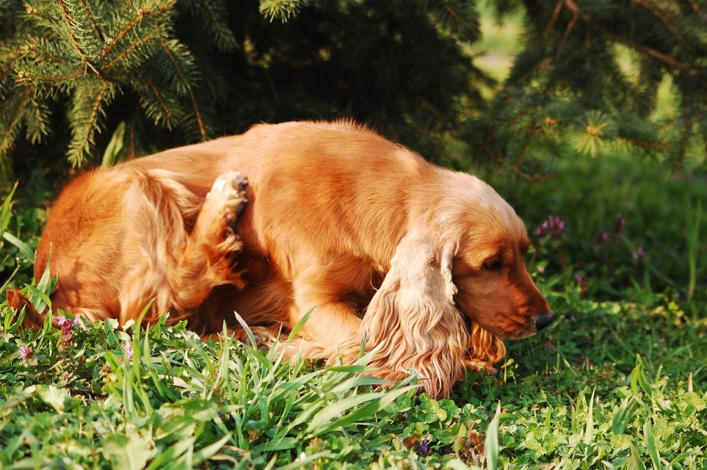 dog with flea infestation