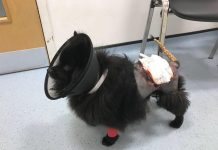 Bonna the pomeranian after surgery