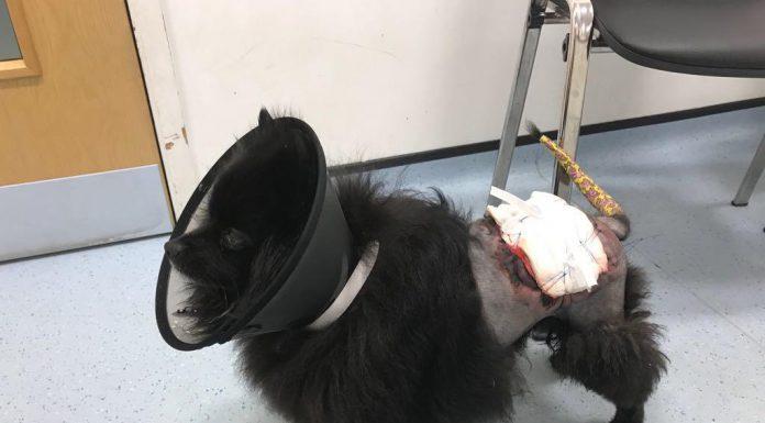 Bonna the pomeranian after surgery