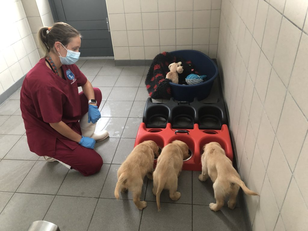Wearing face masks while feeding the puppies helps them get used to the sight