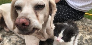 Duke the Beagle cross and rescue kitten Boris