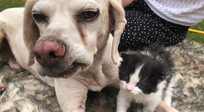 Duke the Beagle cross and rescue kitten Boris