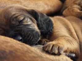 Can dog breeding for profit be ethical?