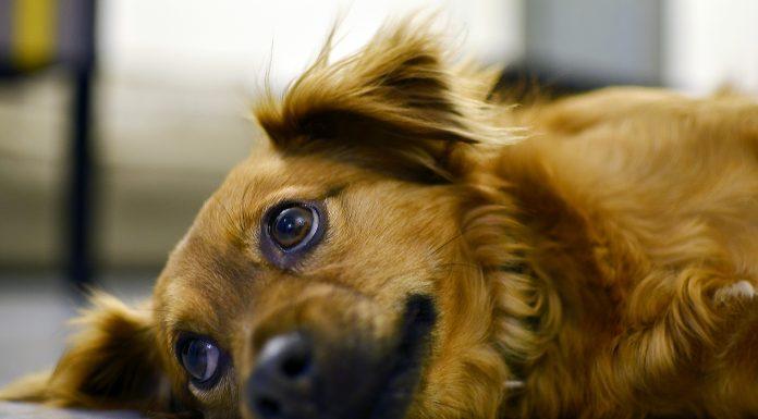 pet custody and divorce
