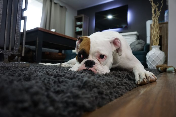 dogs could be affected by post lockdown anxiety