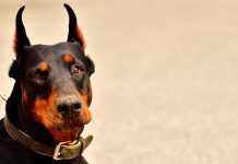 doberman with cropped ears