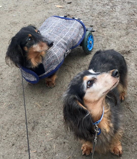 Dachshund dogs Merry and Muffin