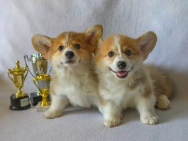 Could dogs qualify for crufts remotely?