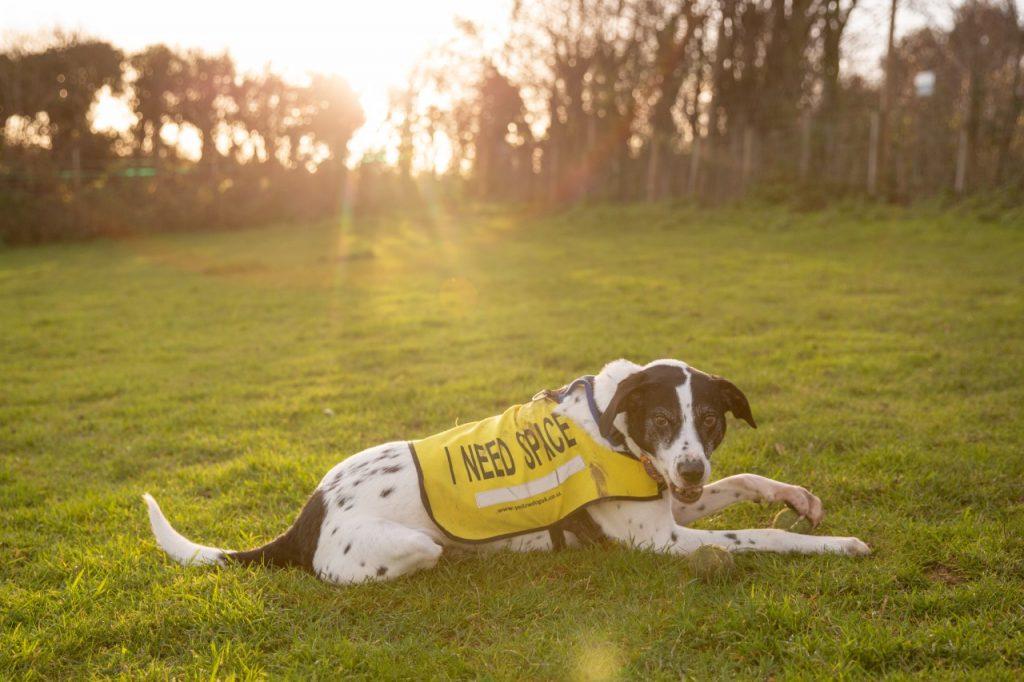 Reactive dogs often wear yellow bests