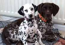 Dalmatian Bella was the inspiration for the book