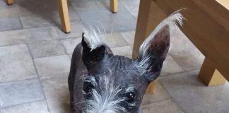 hairless westie