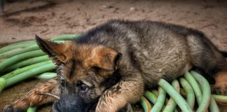 breeder sentenced after selling poorly GSD puppies