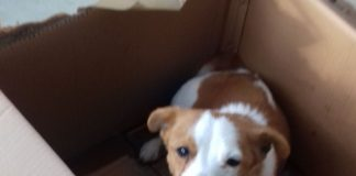 Jack Russell abandoned while pregnant