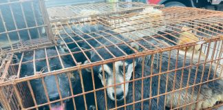 dogs saved from truck headed to yulin