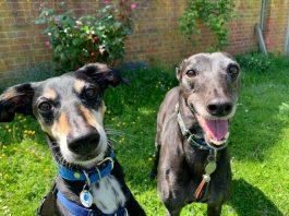 sighthound pair
