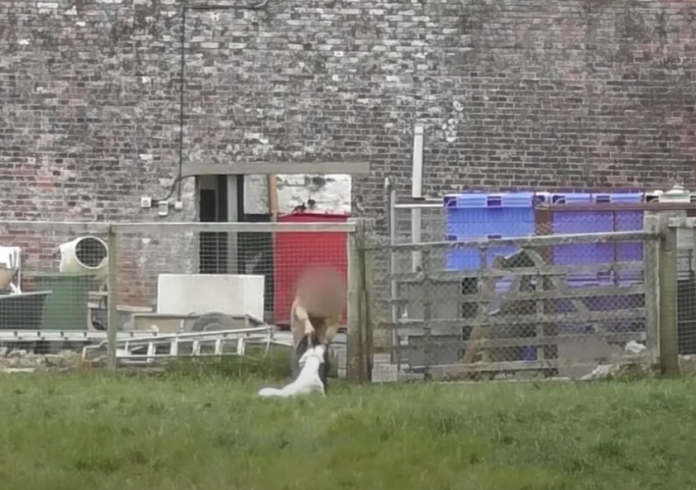 Foxhounds were shot at Beaufort Hunt
